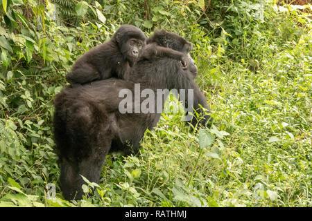 mother and baby mountain gorilla, Gorilla beringei beringei, Bwindi Impenetrable Forest National Park, Uganda - Stock Photo