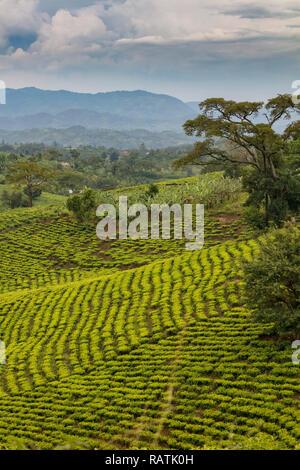 tea plantations near Bwindi, West Uganda, Africa