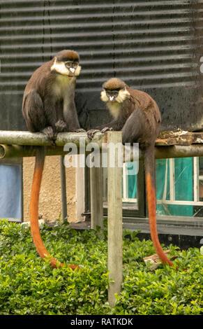 The red-tailed monkey, or black-cheeked white-nosed monkey, red-tailed guenon, or Schmidt's guenon (Cercopithecus ascanius), Bwindi Community Hospital - Stock Photo