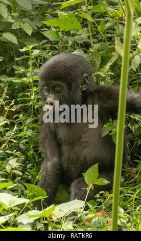 baby mountain gorilla, Gorilla beringei beringei, Bwindi Impenetrable Forest National Park, Uganda - Stock Photo