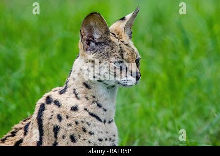 A close up photo of a Serval - Stock Photo