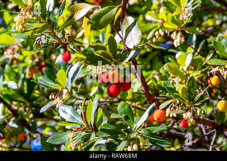 Red fruits of Arbutus unedo. Strawberry tree flowers and fruit. Native to the Mediterranean region and western Europe north to western France and Irel - Stock Photo
