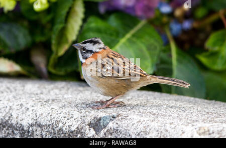Rufous-collared Sparrow (Zonotrichia capensis) - Stock Photo