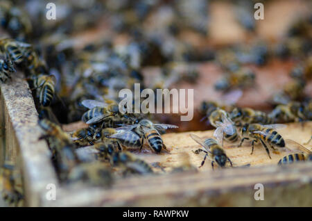 A closeup of bee colony in the hive, when a beekeeper is opening the hive to harvest and collect honey with a shallow depth of field - Stock Photo