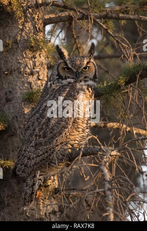 Great Horned Owl (Bubo virginianus) perching in a spruce tree in riparian forest - Stock Photo