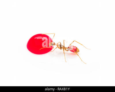 Super macro image of the worker ant (Camponotus Sp.) eating red sweet droplet isolate on white background - Stock Photo