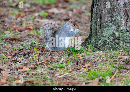 Grey Squirrel Eating - Stock Photo