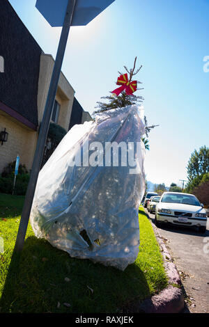 Days after the Christmas holiday, a live Christmas tree, wrapped in a plastic trash bag, is thrown away to the curbside for trash pick up. - Stock Photo