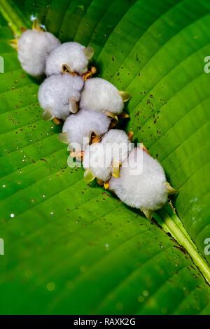 Honduran white bat underneath a banana leaf, Costa Rica rainforest - Stock Photo
