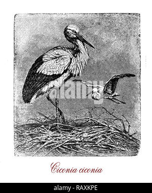 Vintage engraving of white stork, large long distance migrator bird of the stock family with white plumage and black streaks on the wings, long red legs and pointed red beak, it is considered an engangered species. - Stock Photo