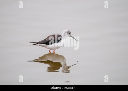 black-winged stilt, Himantopus himantopus, on the water, Namibia - Stock Photo