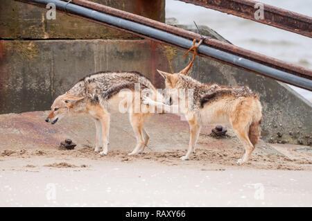 Black-backed jackal, Canis mesomelas, on the beach, Walvis Bay, Namibia - Stock Photo