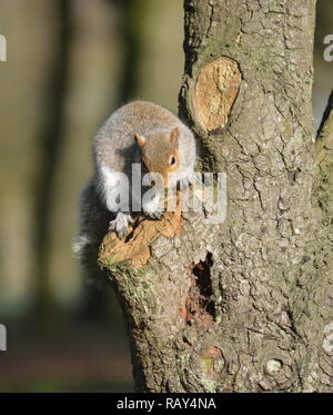 Grey squirrel sitting on a tree in Stanley Park, Blackpool, Lancashire UK