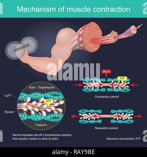 The muscle contraction as a result of Nerve impulses set off a biochemical reaction that causes myosin to stick to actin. Human body infographic. - Stock Photo