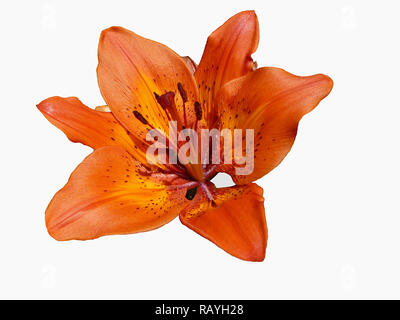 Flower to red lily close-up insulated on white background - Stock Photo