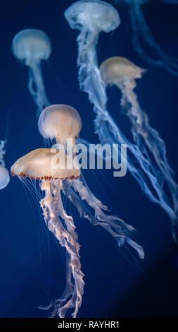 Malaysian Sea Nettle Jellyfish in SEA Aquarium, Singapore - Stock Photo