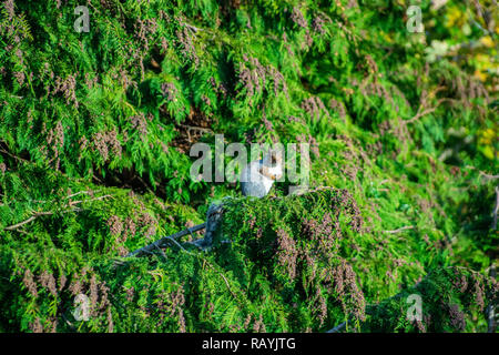 Close up of single european grey squirrel  in conifer trees green textured background with red seeds - Stock Photo