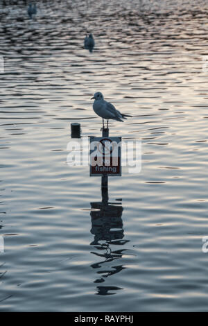Black Headed Sea Gull single close up perched on No Fishing sign in Lake with reflection in the water with rippled textured effect to water surafce - Stock Photo