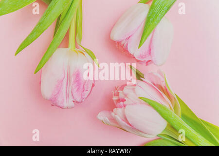 Spring greeting card. Bouquet of fresh light pastel pink tulips flowers on trendy modern colourful pink background. Happy holiday easter mother day anniversary valentine day birthday concept. Flat lay top view copy space - Stock Photo