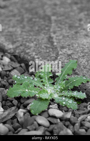 Dandelion weed, Taraxacum officinale, growing between gravel and a slab in a garden with selective colour - Stock Photo