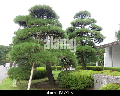 Typically pruned pine trees, or cloud trees, with their sturdy wooden supports in the grounds of the Tokyo Imperial Palace East Gardens - Stock Photo
