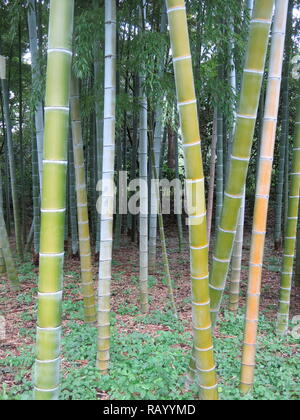 Tall trees in a bamboo grove; part of the Imperial Palace East Gardens, Tokyo, Japan - Stock Photo