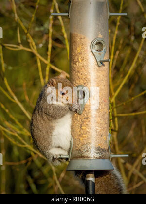 Grey Squirrel stealing from bird feeder in garden - Stock Photo