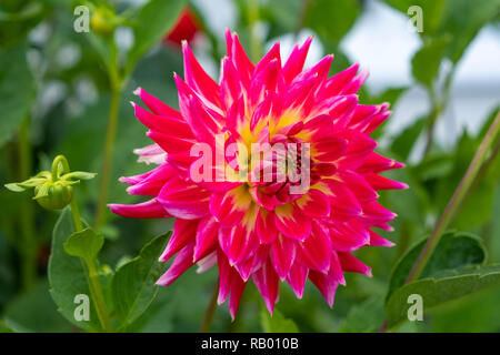 Dahlien in einem Garten - Stock Photo