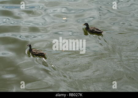 Two Ducks in a Pond - Stock Photo
