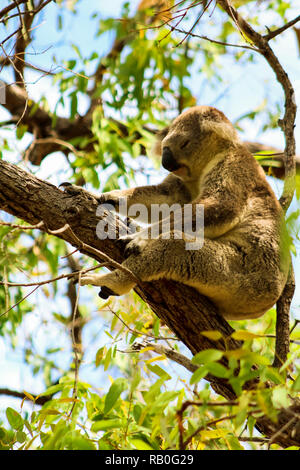 Sleeping Australian koala high up in a tree during spring time as spotted during a hike on Magnetic Island (Townsville, Queensland, Australia) - Stock Photo