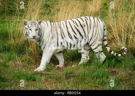 UK, Hamerton Zoo - 17 Aug 2018: Female White (Albino) tiger in captivity - Stock Photo