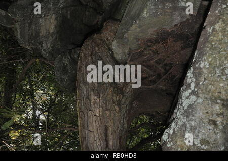 Upside down Picture of a tree. Linwood Falls Trail North Carolina. Tree growing out of the rocks NC Mountains. Reversed looks like a tree man looking - Stock Photo