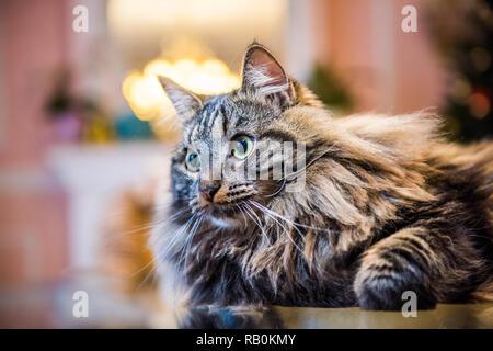 Norwegian forest fluffy cat portrait inside interior