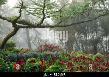 June Blake's Garden,Wicklow,Ireland,Garden,gardens,tulip,tulips,mix,mixed,bed,border,larch,tree,trees,frame,framed,fog,mist,dawn,RM Floral - Stock Photo