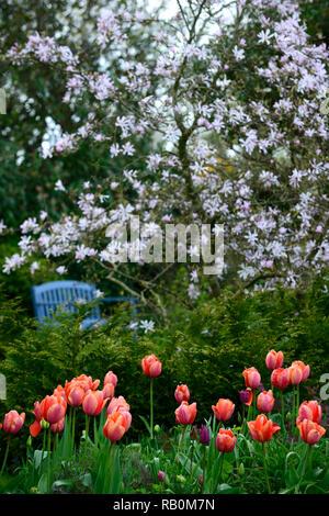 magnolia stellata,blue seat,bench,chair,seating,diffuse,narrow depth of focus,shallow depth of field,tulipa menton,tulip,tulips,orange,red,peach,flowe - Stock Photo