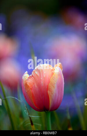 tulips,tulipa,orange,red,flower,flowers,blue background,diffuse,narrow depth of focus,shallow depth of field,spring,garden,gardens,RM Floral - Stock Photo