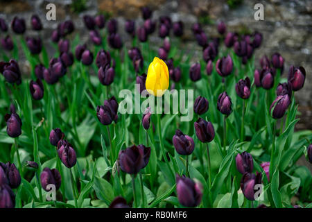 single yellow tulip surrounded by dark purple tulips,tulipa queen of the night,tulipa yellow emperor,tulip,tulips,flower,flowers,garden,RM Floral - Stock Photo