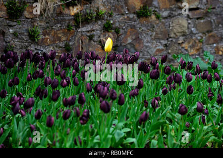 single yellow tulip surrounded by dark purple tulips,tulipa queen of the night,tulipa yellow emperor,tulip,tulips,flower,flowers,garden,RM Floral - Stock Photo