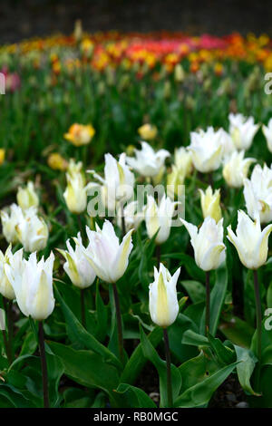 tulipa white triumphator,lily flowered tulip,tulips,flower,flowers,garden,RM Floral - Stock Photo