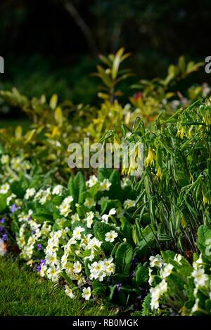 Uvularia grandiflora,primula vulgaris,Viola odorata,large-flowered bellwort,merrybells,yellow,flower,flowers,flowering,spring,shade,shady,shaded,wood, - Stock Photo