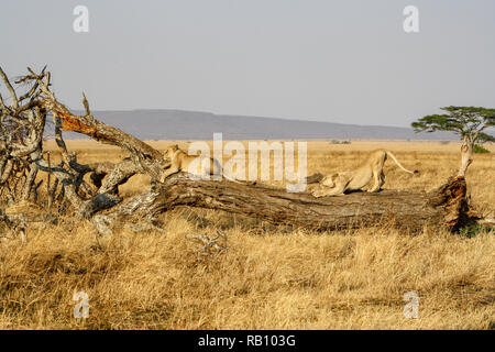 Lions in Serengeti National Park - Stock Photo
