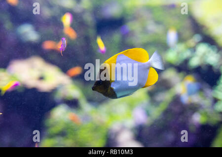 Fish surgeon reflection floating in the aquarium - Stock Photo