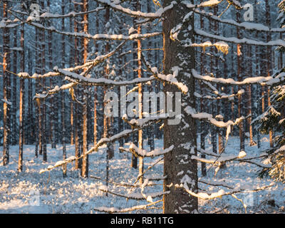 Snowy spruce in Nordic coniferous forest in winter. - Stock Photo