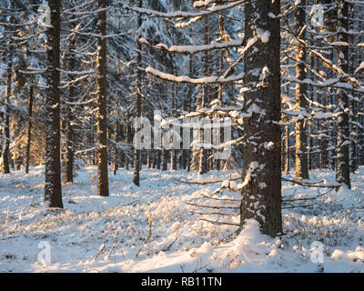 Snowy spruces in Nordic coniferous forest in winter. - Stock Photo