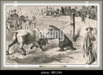 1877 Sports in California Fighting between a bear and a bull.jpg - RB129H  - Stock Photo