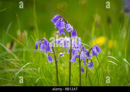 blaue Glockenblumen in Irland - Stock Photo