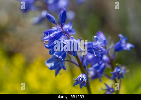 blaue Glockenblumen in Irland - Stock Photo