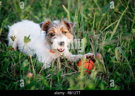 Jack Russell Terrier puppy dog with long hair play orange ball in green grass - Stock Photo