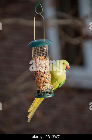 female Ring Necked Parakeet, Psittacula krameri, on nut feeder, London, United Kingdom - Stock Photo