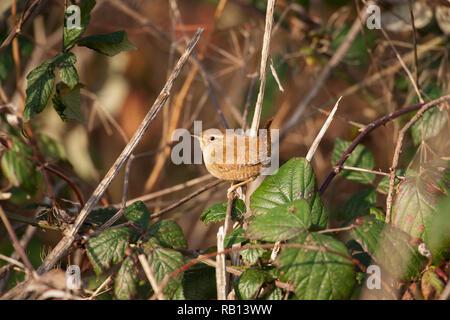 European Wren,Troglodytes troglodytes, Hampstead Heath, London, United Kingdom - Stock Photo